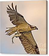Osprey Catches Big Fish Canvas Print