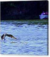 Osprey Cleaning The Lake  Canvas Print