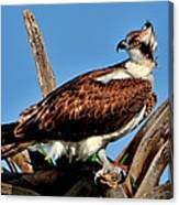 Osprey On A Windy Morning Canvas Print