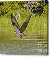 Osprey With Rainbow Trout Canvas Print