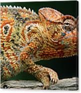 Oustalets Chameleon Furcifer Oustaleti Canvas Print