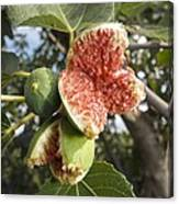 Over-ripe Figs On A Tree Canvas Print