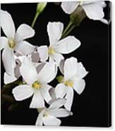 Oxalis Flowers 3 Canvas Print