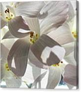 Oxalis Flowers Canvas Print