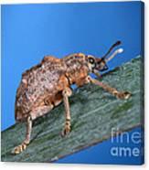 Oxyops Vitiosa Leaf Weevil On Melaleuca Canvas Print
