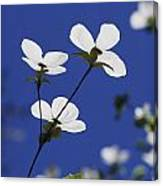 Pacific Dogwood Blossoms Cornus Canvas Print