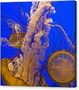 Pacific Sea Nettle Chrysaora Fuscescens Canvas Print