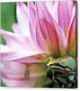 Pacific Tree Frog In A Dahlia Flower Canvas Print