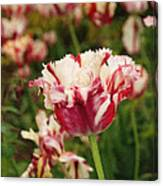Painted Candy Cane Tulip Canvas Print