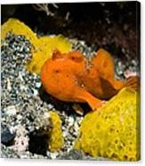 Painted Frogfish On Sponges Canvas Print