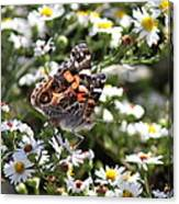 Painted Lady - Surrounded In White Canvas Print