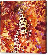 Pair Of Coleman Shrimp On A Red Canvas Print