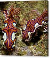 Pair Of Miamira Magnifica Nudibranch Canvas Print