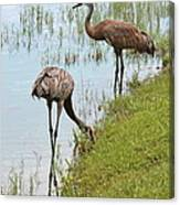 Pair Of Sandhills At The Marsh Canvas Print