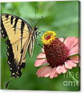 Pale Swallowtail And A Halo Canvas Print