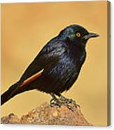 Pale-winged Starling Canvas Print