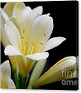 Pale Yellow Clivia Miniata Flowers Canvas Print