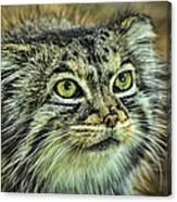 Pallas Cat Canvas Print