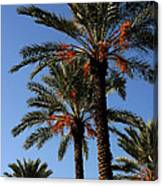Palms9895b Canvas Print