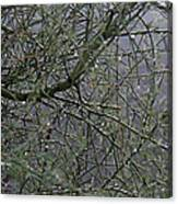 Palo Verde In The Rain Canvas Print