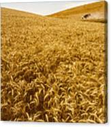 Palouse Wheat Canvas Print