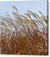 Pampas Grass In The Wind 1 Canvas Print