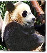 Panda In Tree Canvas Print