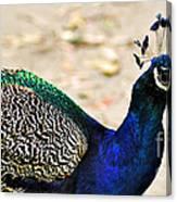 Parading Peacock Canvas Print