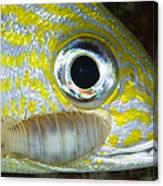 Parasitic Isopod On Grunt, Belize Canvas Print