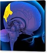 Parietal Lobe In The Brain, Artwork Canvas Print