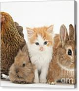 Partridge Pekin Bantam With Kitten Canvas Print