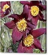 Pasque Flower (pulsatilla Vulgaris) Canvas Print