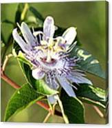 Passion Flower - May Pop Bloom Canvas Print