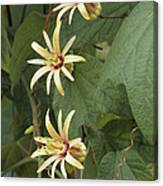 Passionflower Canvas Print