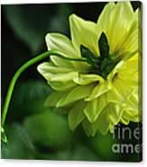 Pastel Lemon Dahlia 2 Canvas Print