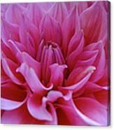 Pastel Pink Dahlia Canvas Print