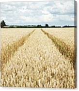 Paths Carved In Field Of Tall Wheat Canvas Print