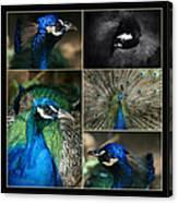 Pavo Cristatus IIi The Heart Of Solitude  - Indian Blue Peacock  Canvas Print