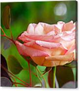 Peace Rose Canvas Print