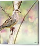 Peaceful Mourning Dove Canvas Print