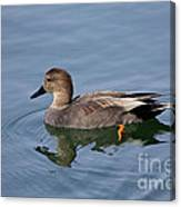 Peaceful Reflection- Female Gadwall Duck Swimming At The Pond Canvas Print