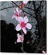 Peach Blooms Canvas Print