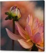 Peach Dahlias Canvas Print