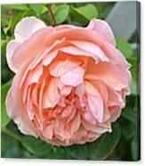 Peach Peony Flower Canvas Print