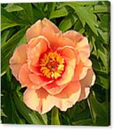 Peachy Blush Canvas Print