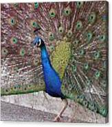 Peacock - 0013 Canvas Print
