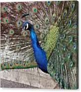 Peacock - 0014 Canvas Print