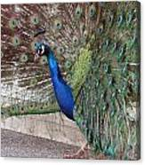 Peacock - 0015 Canvas Print