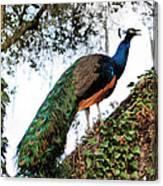 Peacock Calling Canvas Print