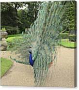 Peacock Glory Canvas Print